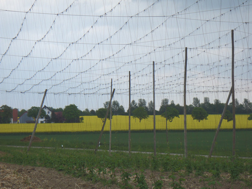 Tall poles and distinctive wire trellises in the hop fields of Hallertau.