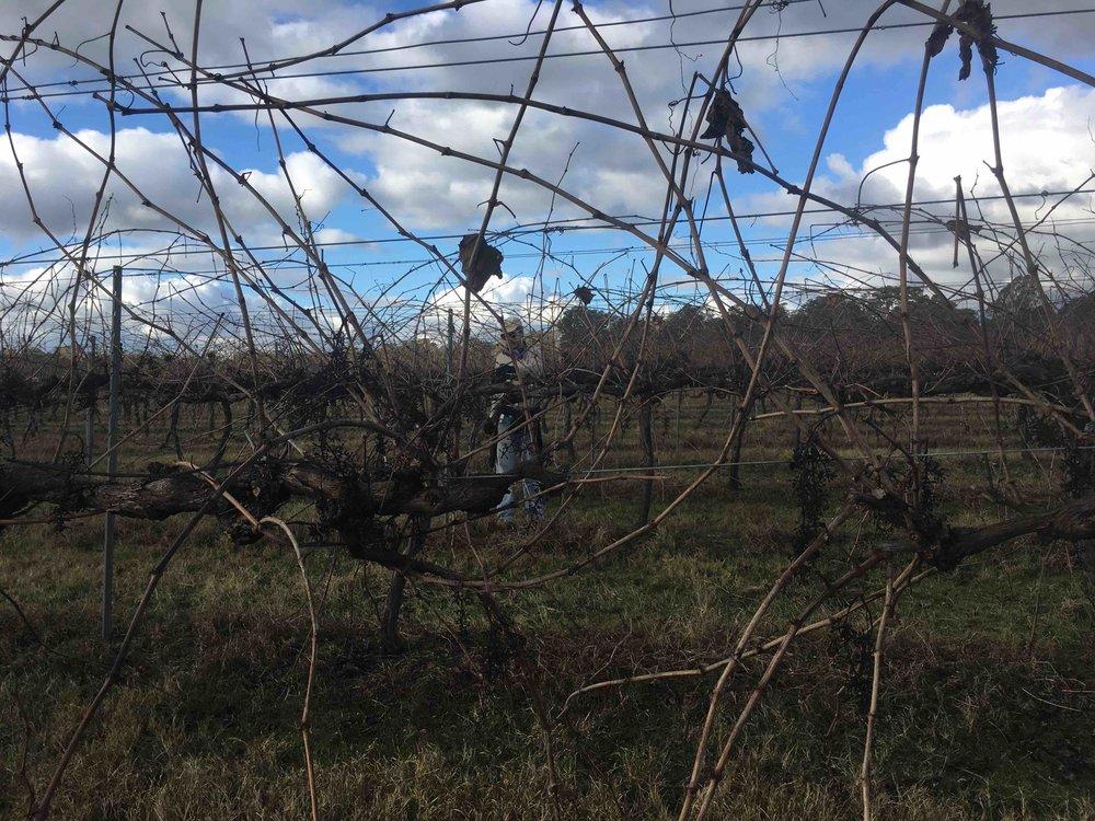 Farm vineyard vines.jpeg