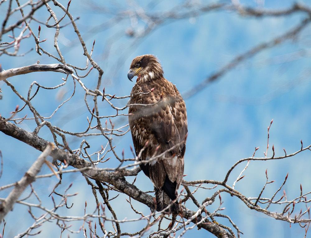 Eagle -01804.jpg