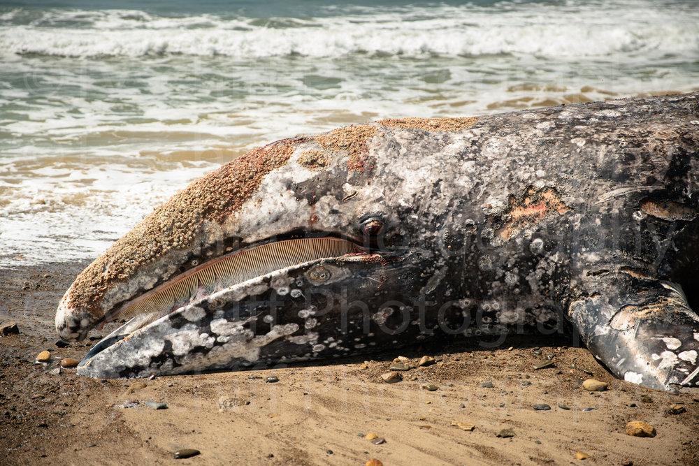 Grey Whale-4.jpg