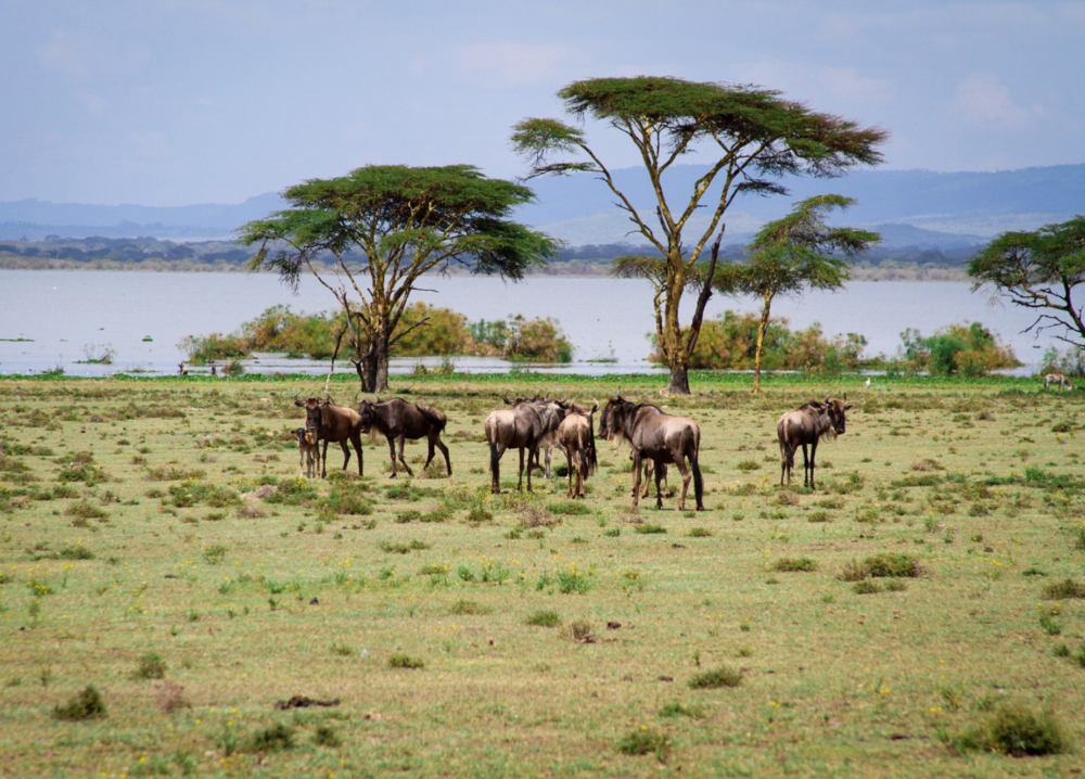 Wildebeest at Crescent Island.png