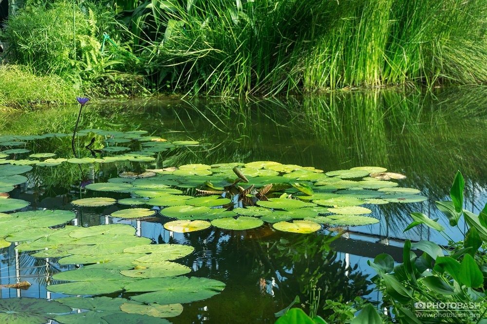 Parks-Gardens--Pond-Lily-Pads.jpg