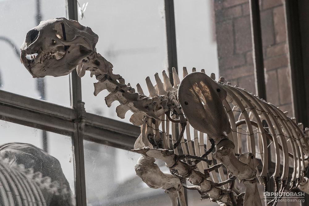 Skulls-Bones-Feline-Skeleton.jpg