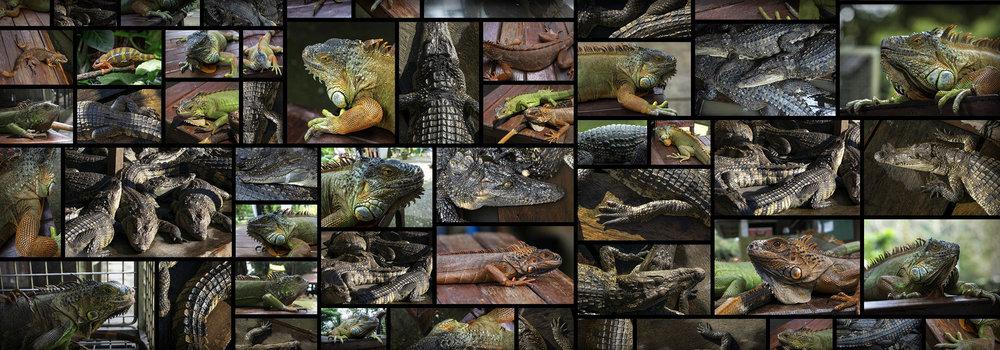 Reptiles Lizard Iguana Skin Texture