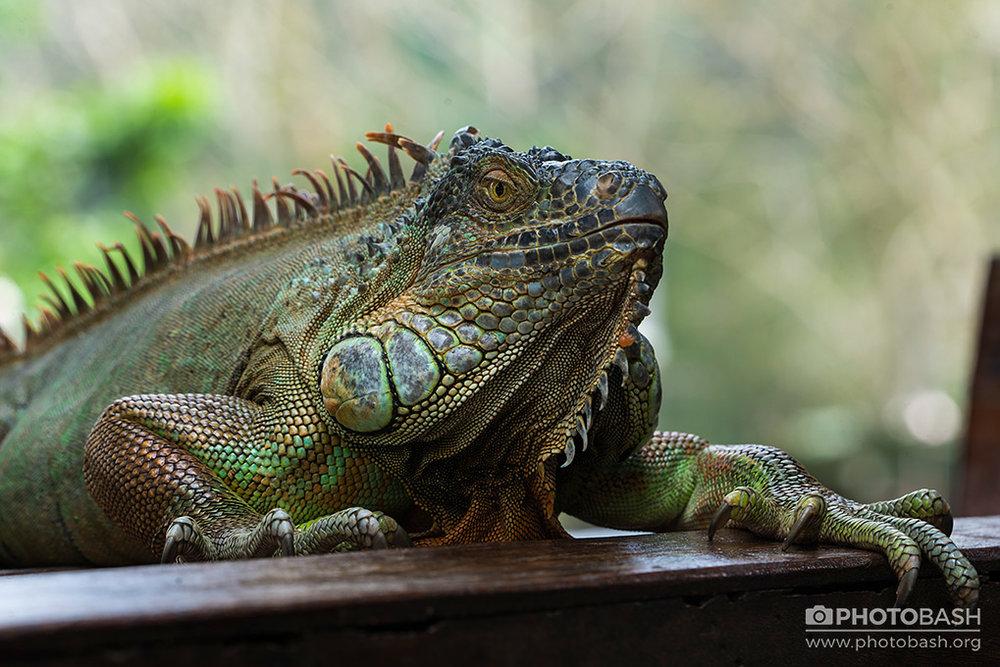 Reptiles-Iguana-Dragon-Lizard.jpg