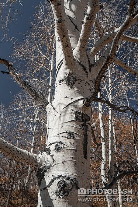 White-Forest-Birch-Trunk-Texture.jpg