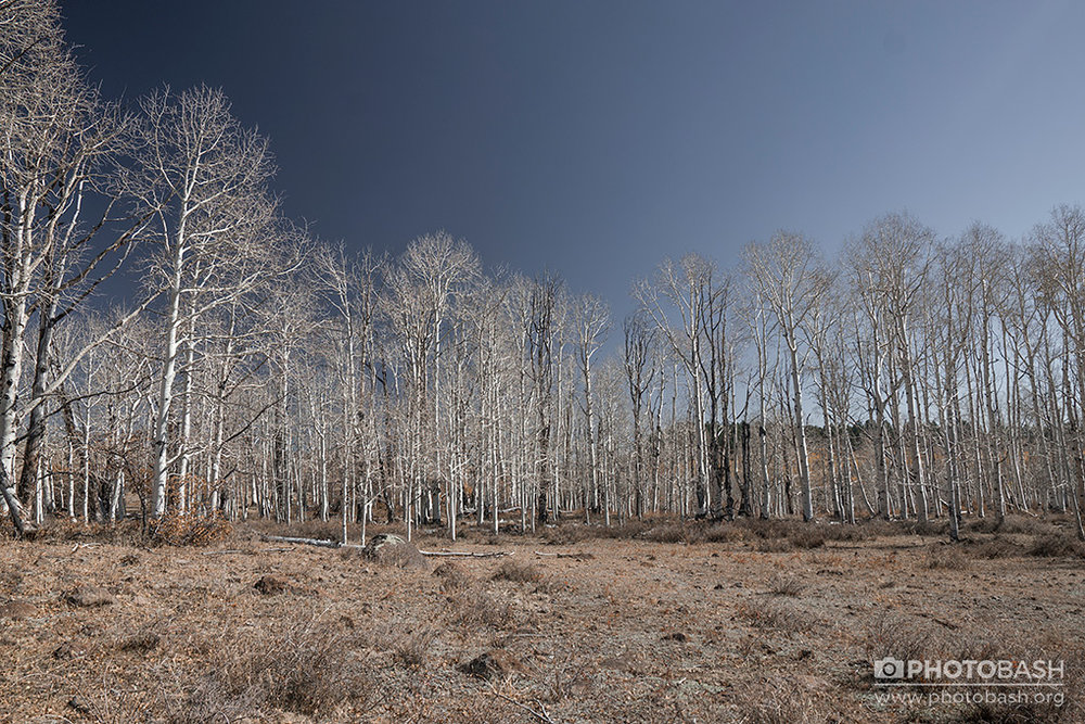 White-Forest-Dead-Trees.jpg