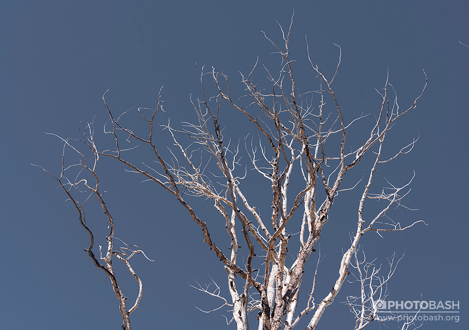 White-Forest-Dead-Tree-Tops.jpg