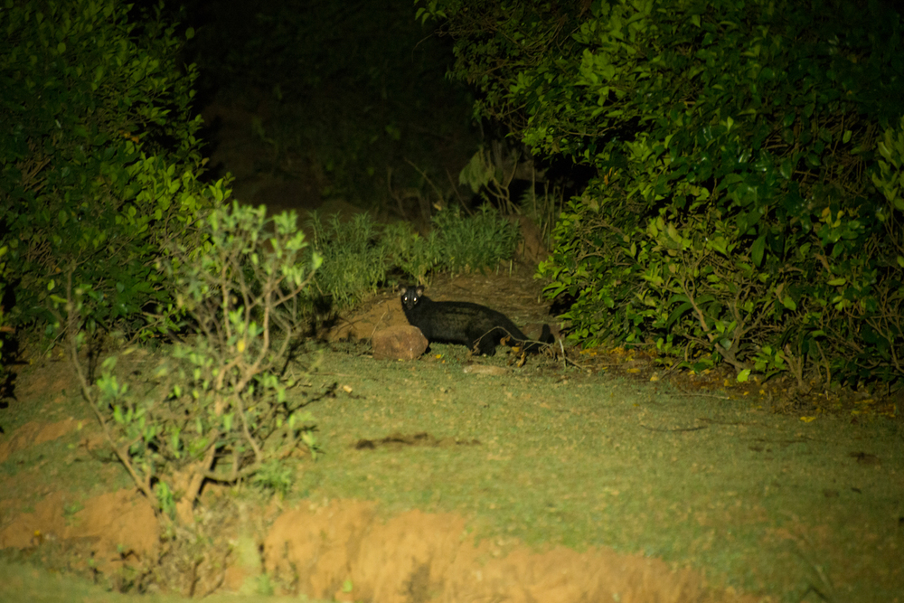 As night falls, mammals such as the Common palm civet ( Paradoxurus hermaphrodites )