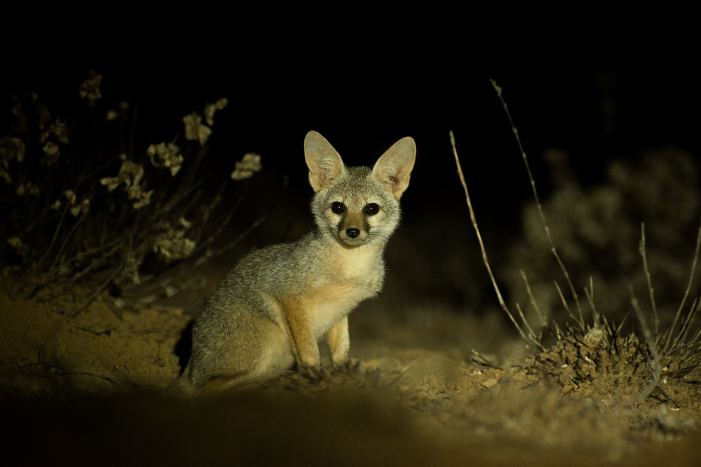In the cool of the night Indian foxes ( Vulpes bengalensis ) make it out of their dens. A curious fox cub looks out of the plateau at night.