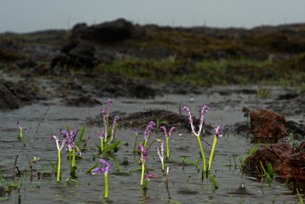 Aponogeton satarensis  is an endemic aquatic plant known only from five temporary pools around the Kaas area.