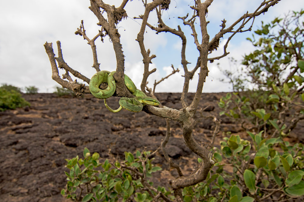 Animals from the adjacent Sahyadri range often spill onto the plateau.   The bamboo pit viper (  Trimeresurus gramineus  ) rests on the barren tree,  waiting for night to fall.