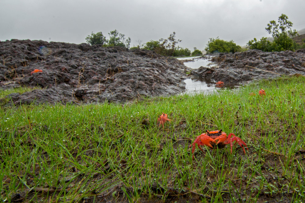 Crabs such as these remain dormant in the dry summer season. With the first rains, they emerge to feed and breed around these temporary pools.
