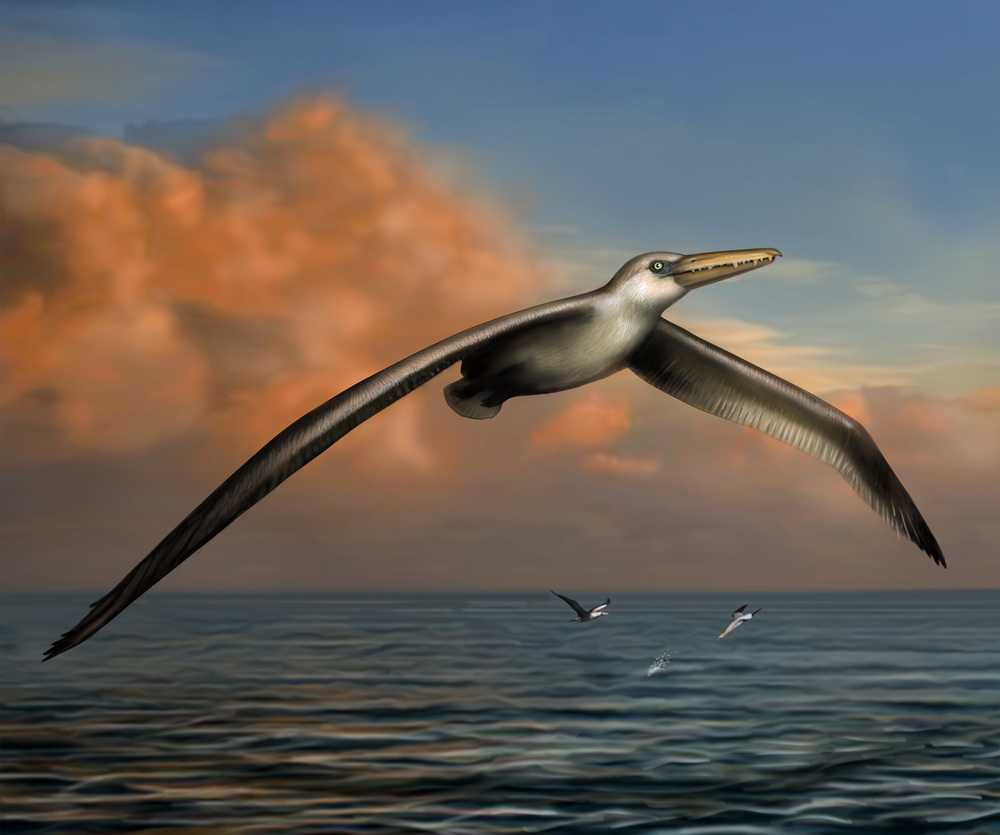 Life reconstruction of Pelagornis sandersi by Liz Bradford