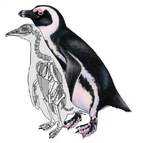 Fossil penguin Inguza predemersus with a modern Black-footed Penguin for scale (Art by Kristin Lamm and Barbara Harmon)