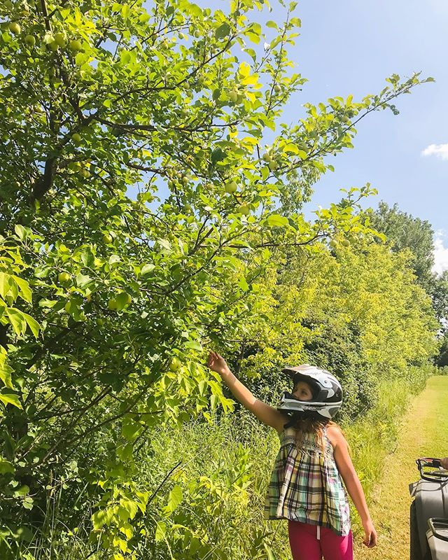 Wheeling with the kids today and we made a pretty great discovery.  We thought our property was covered in crab apple trees after they had pretty white blooms on them this spring, but it turns out they are mostly apple trees and at least 8 of the ones we could see have good size apples on them.  We also found more plum trees than we had originally thought we had here. I love having enough property to explore and find new things every time we go out! 🌿