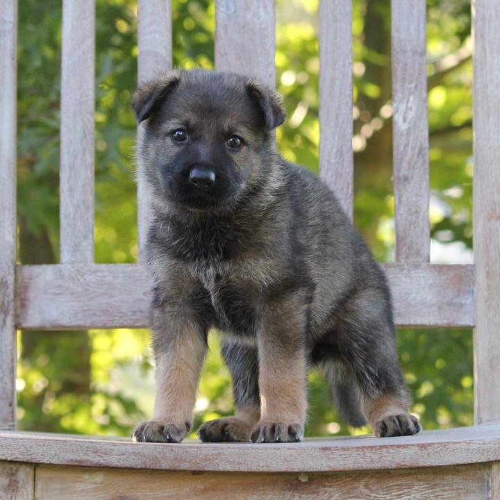 Shaggy Dog Von Debut (Eros Von Haus Fien Conti x Hera Von Felsschlucht Bach) Owned by Alania Y. of Ackley, Iowa