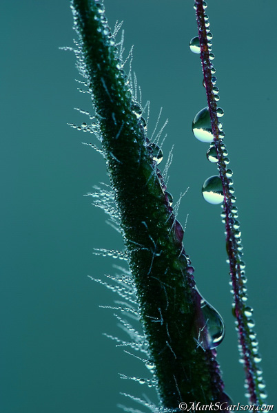 Two dewy grass blade sections; ©markscarlson.com