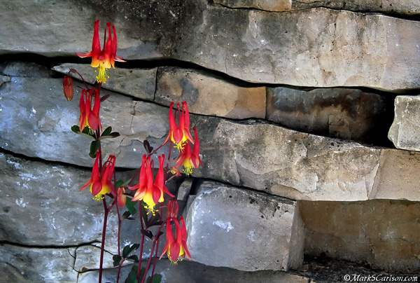 Wild Columbine against limestone layers; ©markscarlson.com