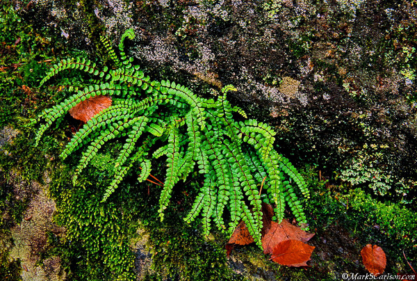 Maidenhair spleenwort fern; ©markscarlson.com