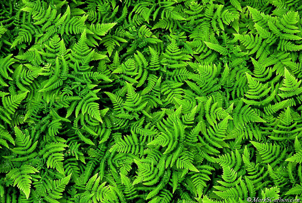 Oak Fern colony; ©markscarlson.com