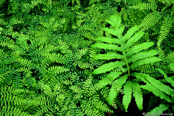 Sensitive Fern in Northern Maidenhair fern colony; ©markscarlson.com