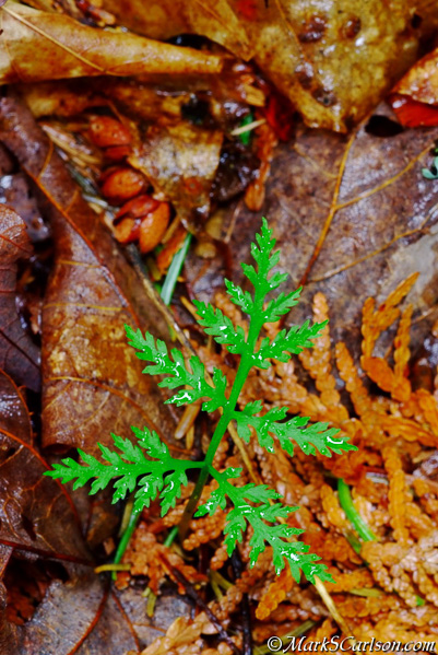 Triangle Grape Fern; ©markscarlson.com