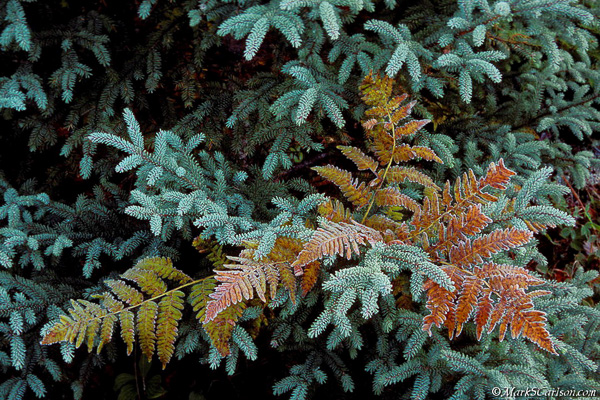Brachen Fern within White Spruce with frost, autumn; ©markscarlson.com