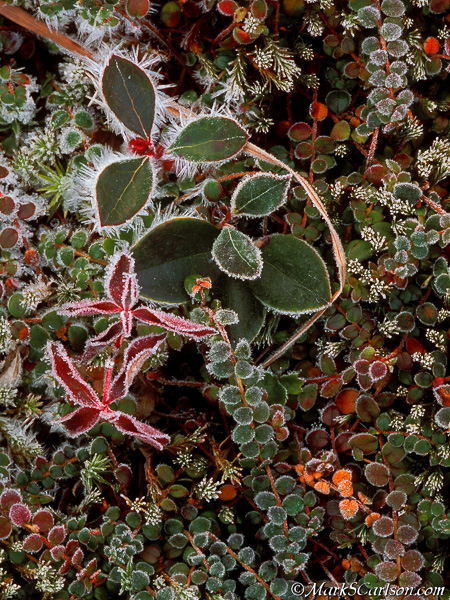 Hoar frost on creeping snowberry, moss and wintergreen; ©markscarlson.com
