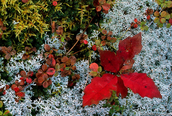 Twinflower vine, moss, reindeer lichen and oak seedling in autumn color; ©markscarlson.com