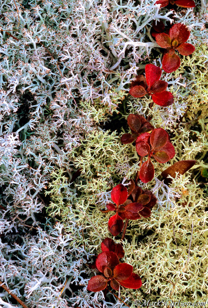 Twinflower vine in reindeer lichens, autumn; ©markscarlson.com