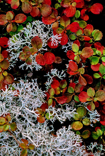 Twinflower vines and reindeeer lichen in autumn color; ©markscarlson.com