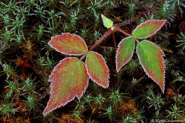 Blackberry bramble leaves, haircap moss with frost, autumn; ©markscartlson.com