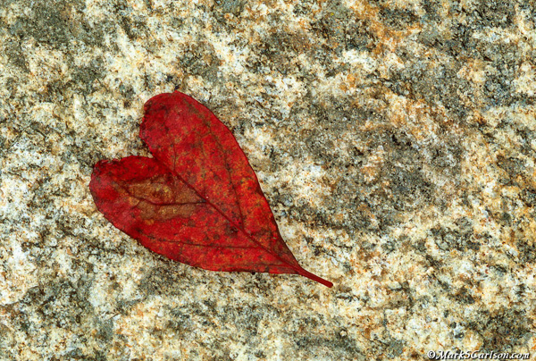 Heart-shaped leaf on rock , autumn; ©markscarlson.com