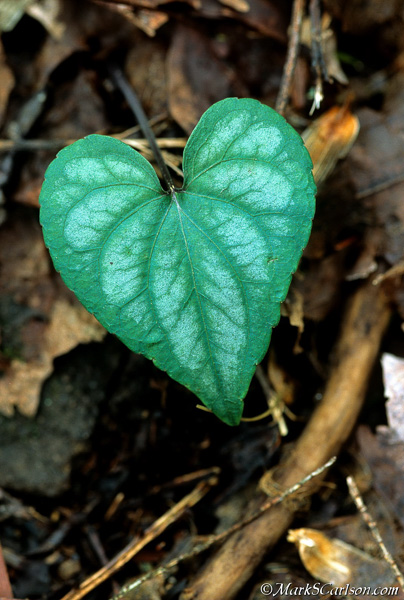 Heart shaped leaf of Halberd-leaved violet; ©markscarlson.com