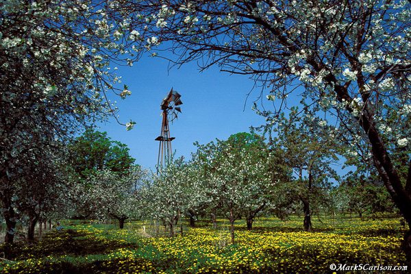 Windmill-in-blooming-cherry-orchard