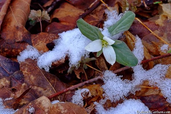 Snow-Trillium-T-nivale