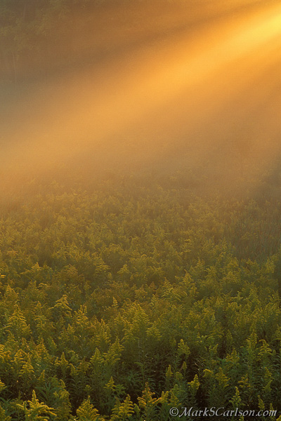 Tall-Goldenrod-meadow-with-sun-beams-thru-fog