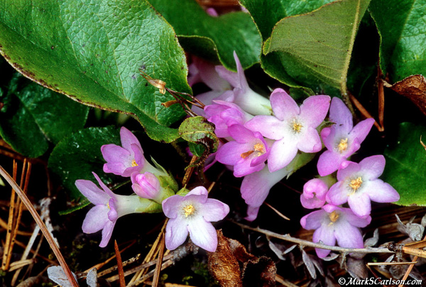 Trailing-Arbutus-pink-blossoms