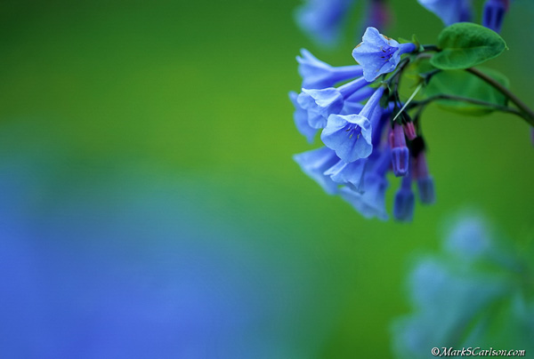 Virginia-Bluebells-close-up-blossoms