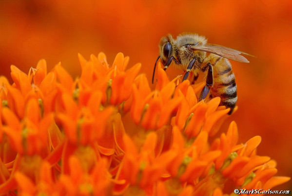 Honey Bee pollinating orange milkweed