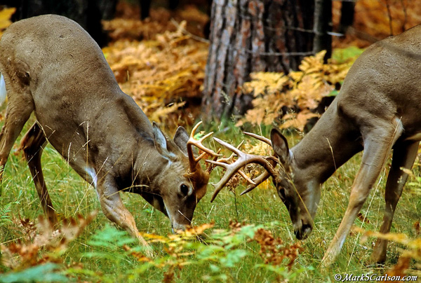 White tailed buck deer sparring