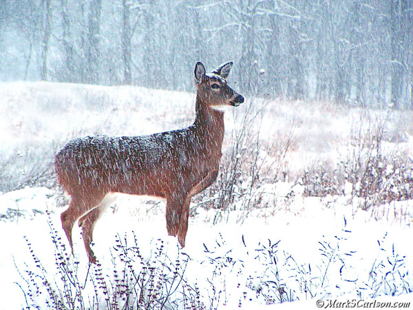 White tailed doe with falling snow