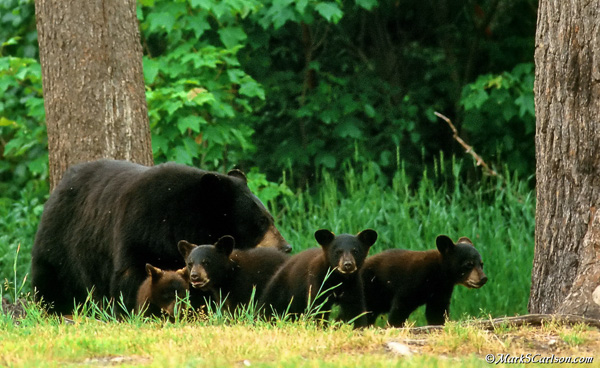 Black Bear sow with 4 cubs