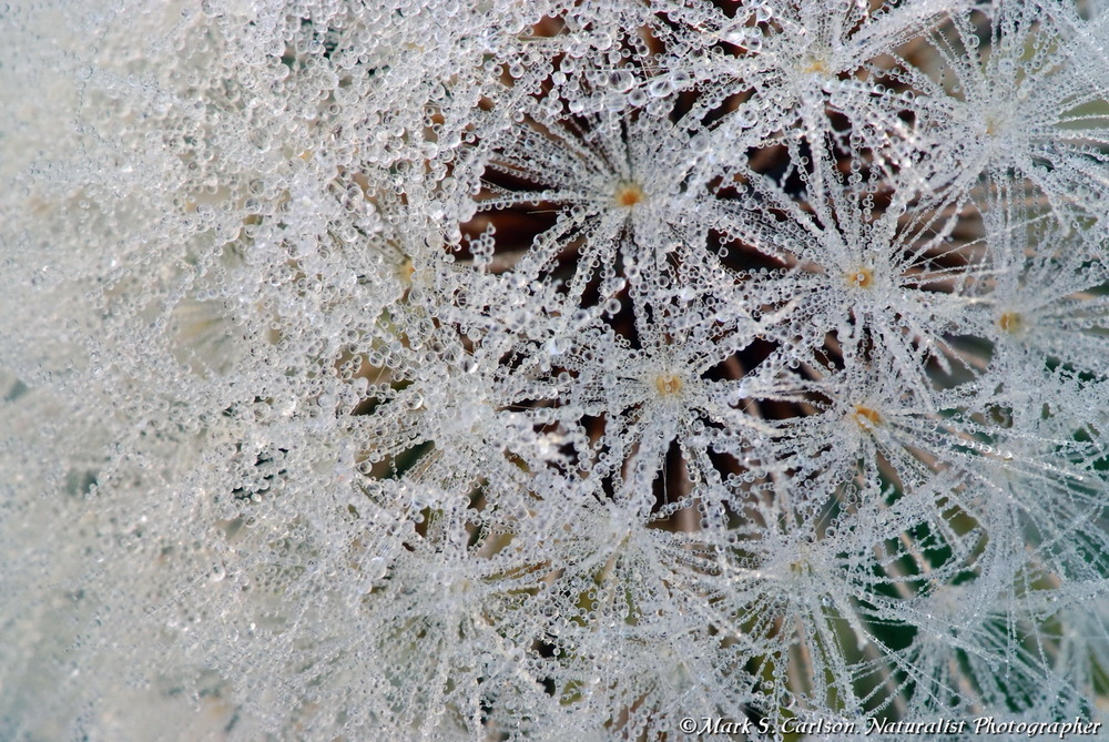 Section of dandelion seed head with dew; ©markscarlson.com