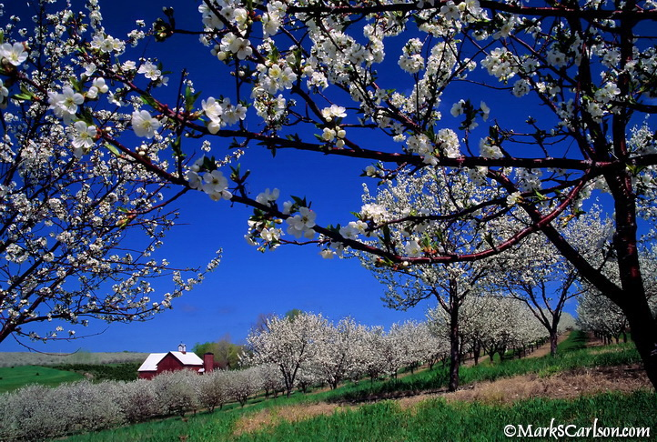 Barn through blooming cherry orchard; Leelanau Peninsula ©markscarlson.com.jpg