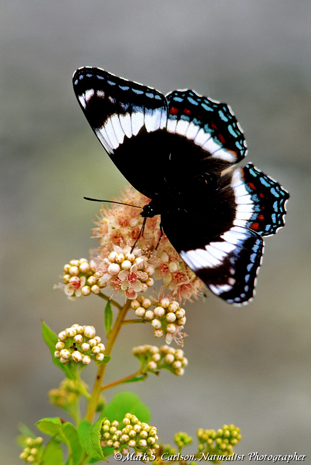 White Admiral butterfly nectaring steeplebush; ©markscarlson.com_resize.jpg