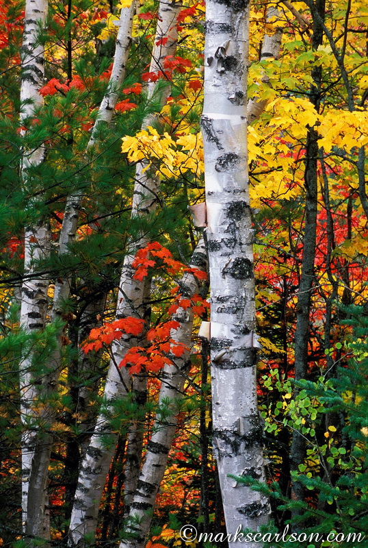 PBT020-Paper birch tree trunks through maples and evergreens ©markscarlson.com
