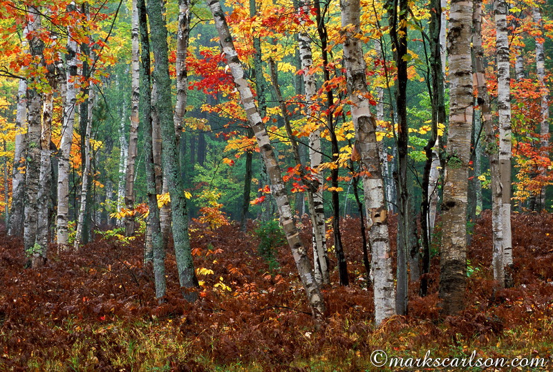 PBT009-Paper birch woods in lite fog, autumn ©markscarlson.com