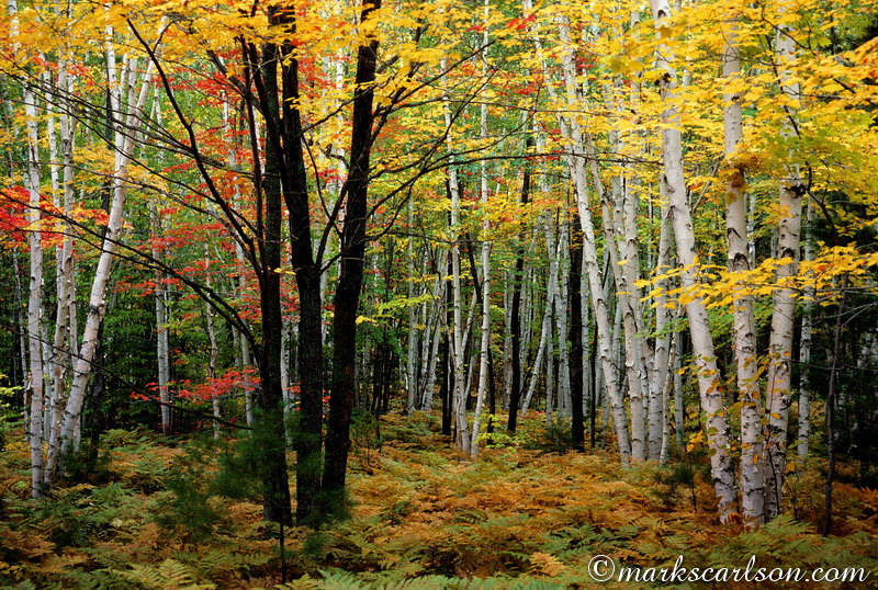 PBT010-Red maple trunks in birch woods, autumn ©markscarlson.com